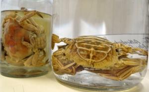 A esquerda um siri e a direita um caranguejo, ambos da coleção didática da SAE.