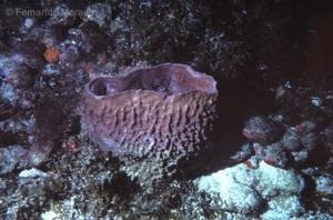Esponja Xestospongia muta fotografada em Fernando de Noronha. Um exemplar dessa espécie foi  considerado o animal mais antigo do planeta Terra, com 2.300 anos de vida.